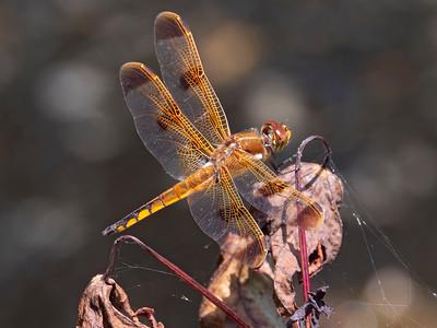 Painted Skimmer (Libellula semifasciata), male