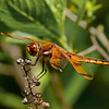 Painted Skimmer, male, Winslow WMA, NJ