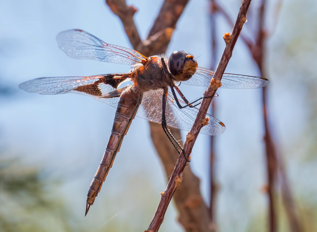 Red Saddlebags female