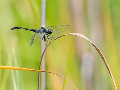 Seaside Dragonlet (Erythrodiplax berenice), younger male