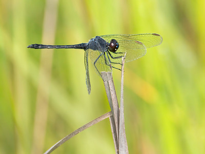 Seaside Dragonlet (Erythrodiplax berenice), older male