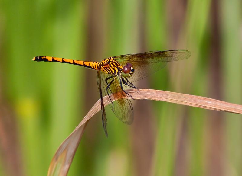 Seaside Dragonlet, female, spotted form, Bombay Hook