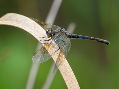 Seaside Dragonlet (Erythrodiplax berenice), older female, spotted morph