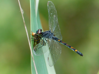 Seaside Dragonlet (Erythrodiplax berenice), female