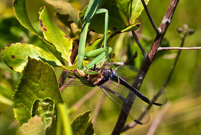 Male being consumed by Chinese Praying Mantis, Idylwild WMA, MD