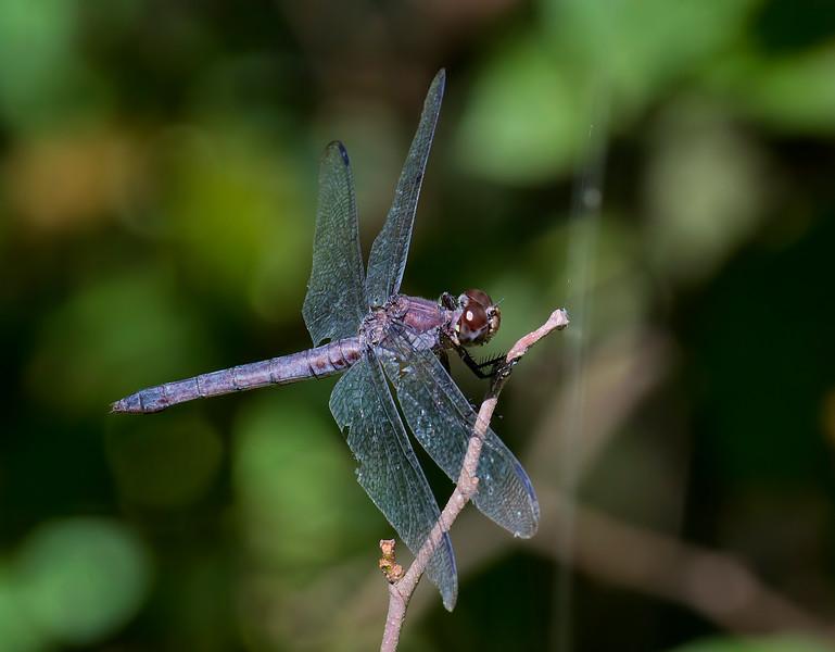 Older Female, Lum's Pond State Park
