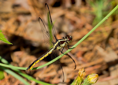 Female, Prime Hook NWR