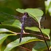 Older Female, Trap Pond SP