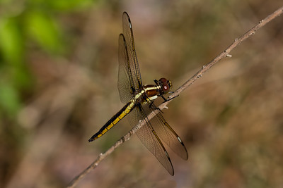 Immature Male, Idylwild WMA, MD
