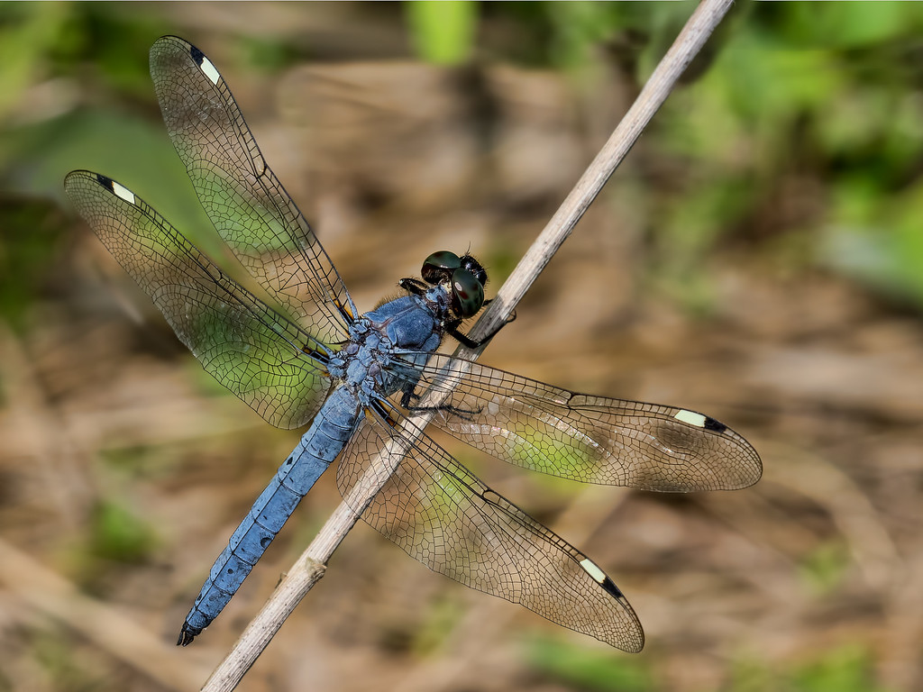 Spangled Skimmer, male