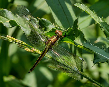 Immature Male, Fair Hill NRMA, MD