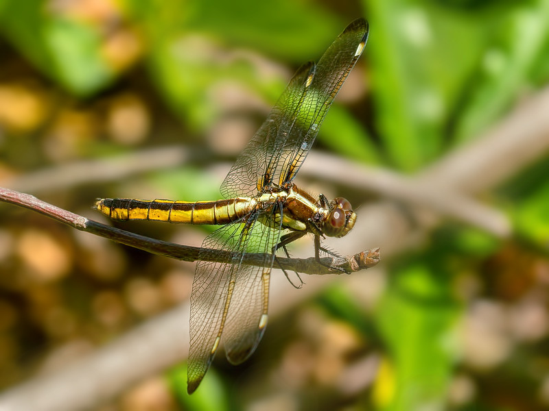 Female, Lum's Pond