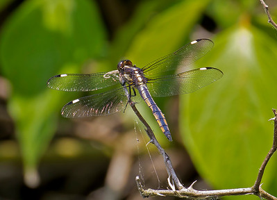 Immature Male, Lum's Pond