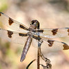Twelve-spotted Skimmer (Libellula pulchella), Female