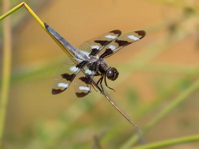 Twelvespotted Skimmer (Libellula pulchella), male