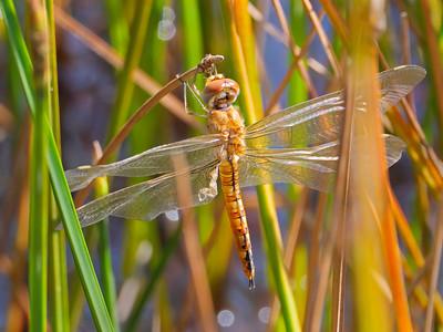 Wandering Glider (Pantala flavescens), teneral female