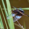 Immature male, Fiddle Brook Beaver Pond, Susquehanna County, PA