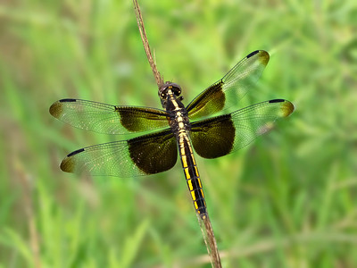 Widow Skimmer (Libellula luctuosa), female