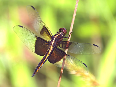 Widow Skimmer (Libellula luctuosa), immature male