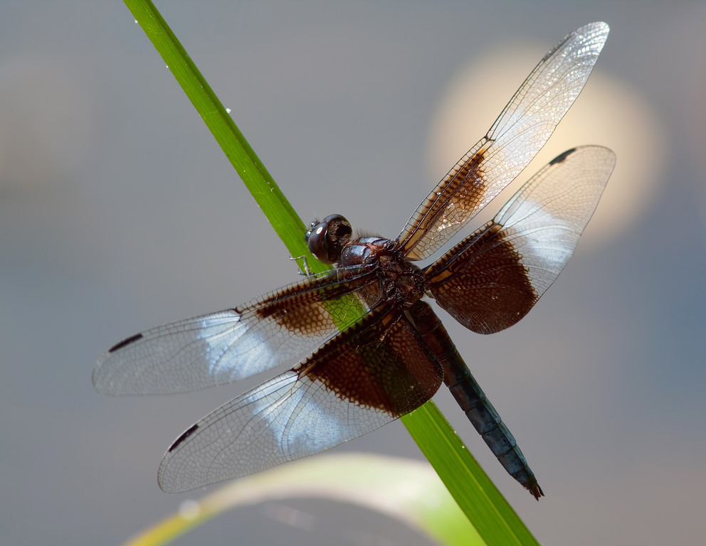 Widow Skimmer, male