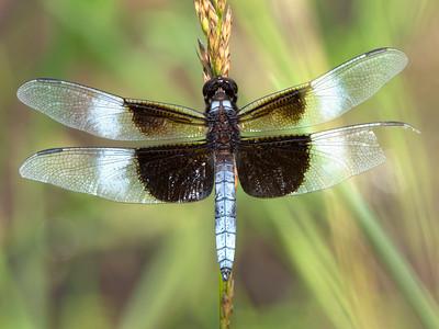 Widow Skimmer (Libellula luctuosa), male