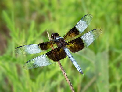 Widow Skimmer (Libellula luctuosa), male