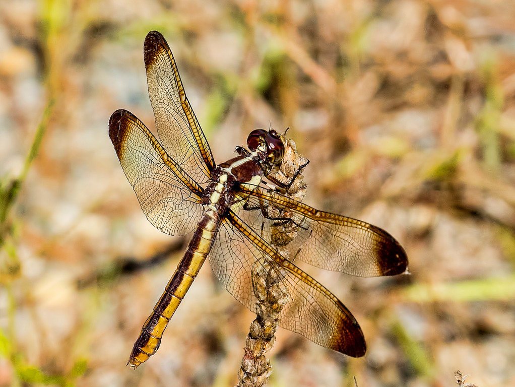 Yellow-sided Skimmer, female