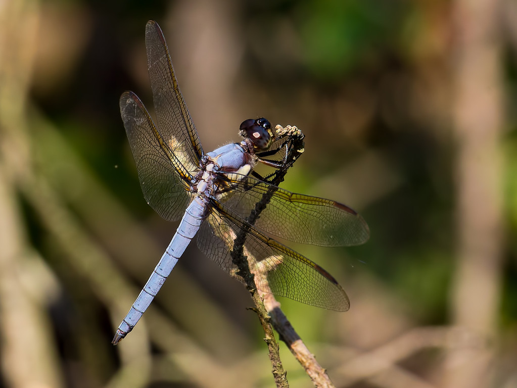 Yellow-sided Skimmer, male