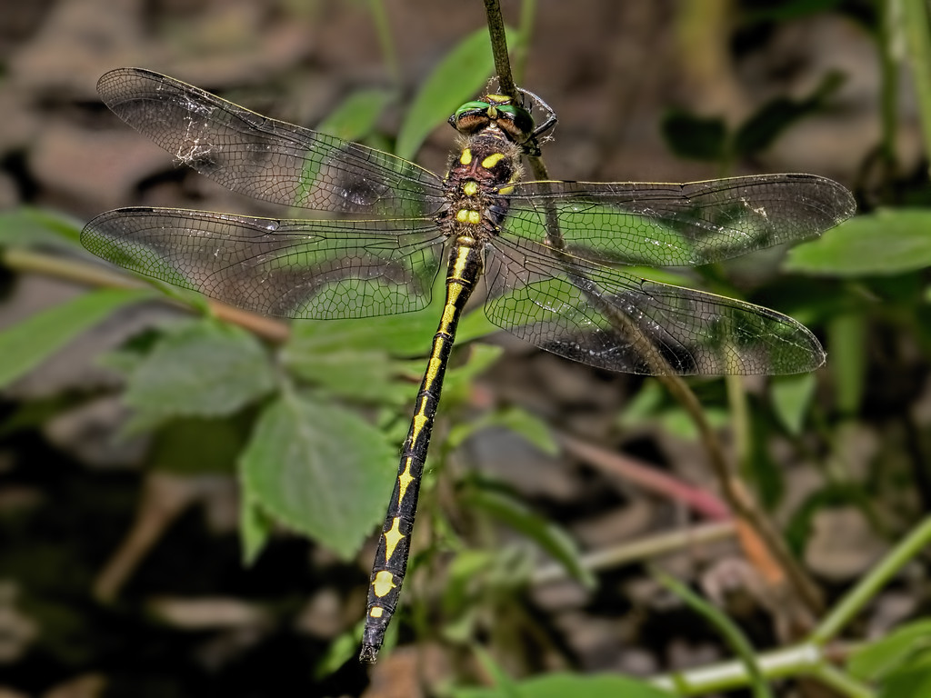 Arrowhead Spiketail, male