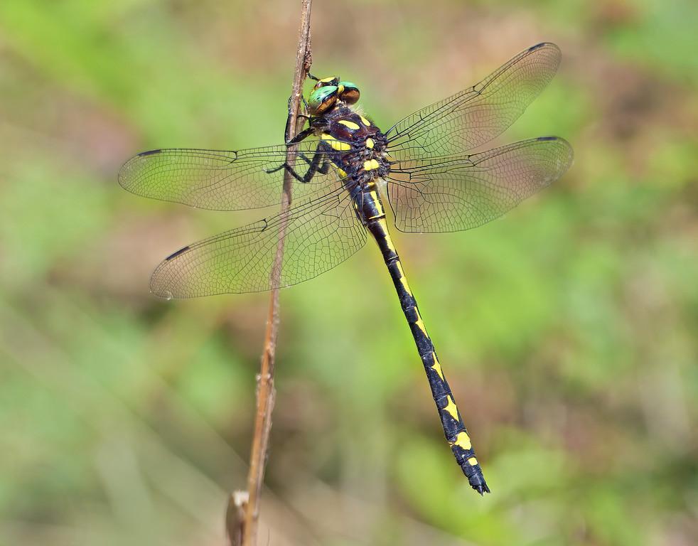 Arrowhead Spiketail, male