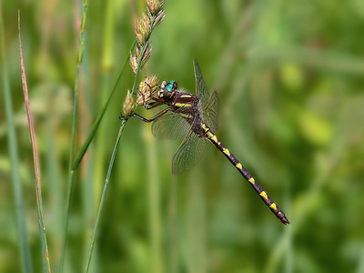 Brown Spiketail (Cordulagaster bilineata), male