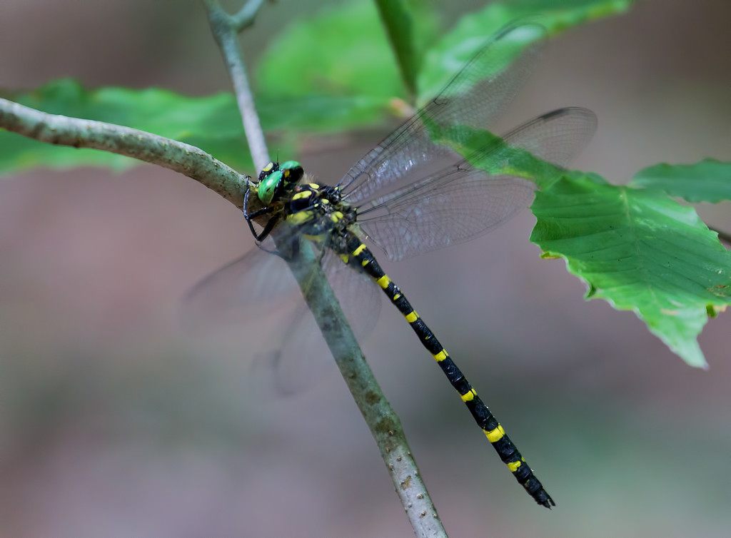 Tiger Spiketail, male