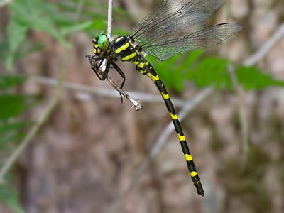 Tiger Spiketail (Cordulegaster erronea), male