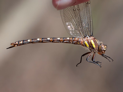 Twin-spotted Spiketail (Cordulagaster maculata), teneral female