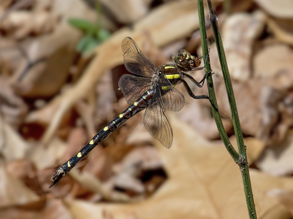Twin-spotted Spiketail, female