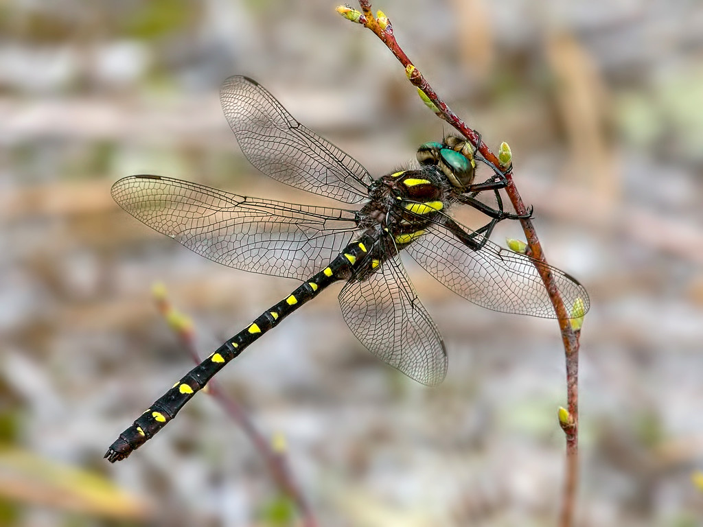 Twin-spotted Spiketail, male