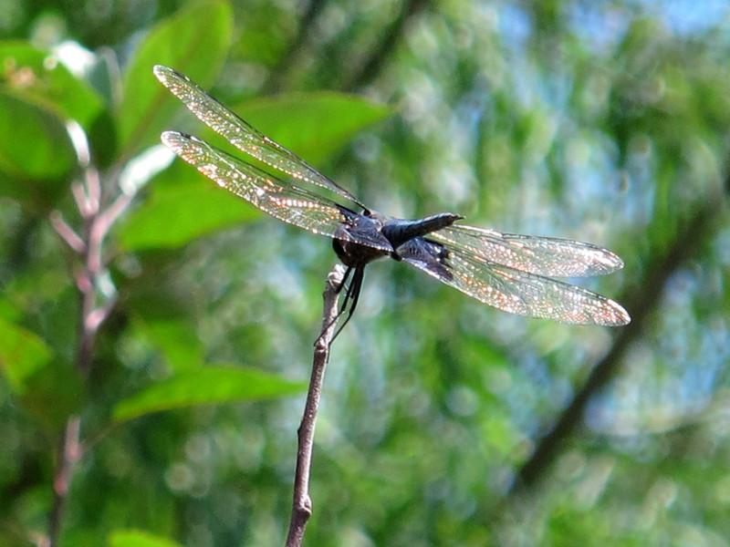 Black Saddlebags (Tramea lacerata), male, Lake Finney