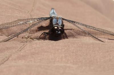 Blue Corporal (Ladona deplanata), male