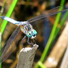 Blue Dasher (Pachydiplax longipennis), male, Lake Cheston