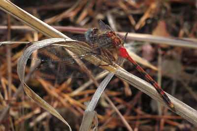 Blue-faced Meadowhawks (Sympetrum ambiguum)