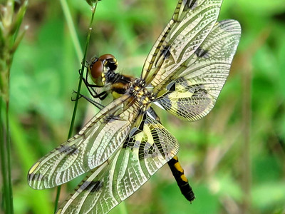 Calico Pennant (Celithemis elisa), female, Lake Cheston