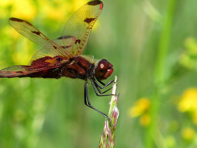 Calico Pennant (Celithemis elisa), male, Lake Cheston
