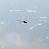 Common Green Darner (Anax junius), Lake Cheston