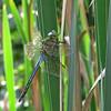 Common Green Darner (Anax junius), male, Farm Pond