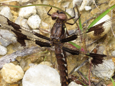 Common Whitetail (Libellula lydia), female