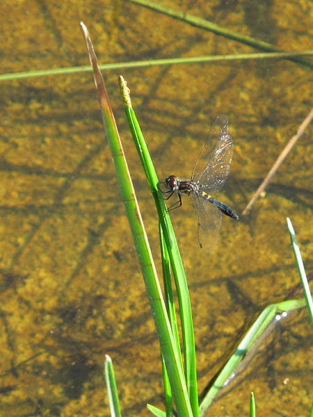 Female Double-ringed Pennant at Lake Dimmick