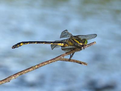 Dragonhunter (Hagenius brevistylus)