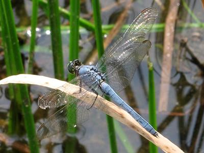 Eastern Pondhawk (Erythemis simplicicollis), male, Lake Cheston
