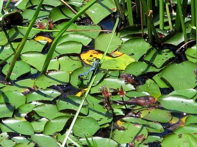 Eastern Pondhawks (Erythemis simplicicollis), Lake Dimmick