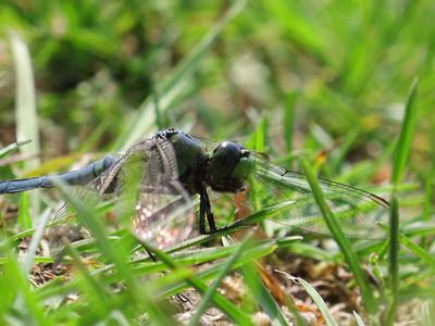 Eastern Pondhawk (Erythemis simplicicollis), immature male, Lake Cheston
